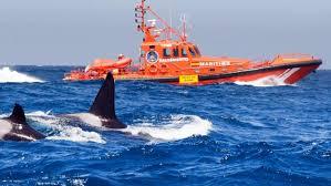 Continúa el misterio de las orcas que chocan con barcos en Galicia